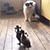 Кот убегает от цыплят